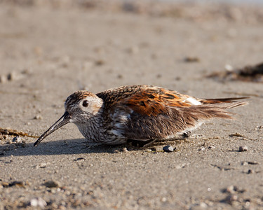 Dunlin  Crowley Lake 2010 06 04-6.CR2