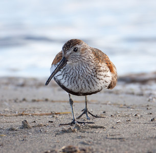 Dunlin  Crowley Lake 2010 06 04-1.CR2