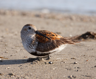 Dunlin  Crowley Lake 2010 06 04-5.CR2