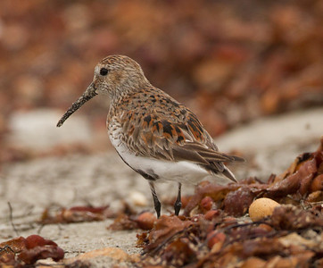 Dunlin Cardiff Beach 2014 04 15-3.CR2