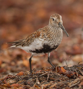 Dunlin Cardiff Beach 2014 04 15-2.CR2
