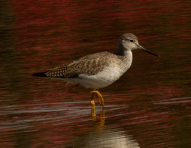 Greater Yellowlegs San Dieguito 2013 02 03 (1 of 2).CR2