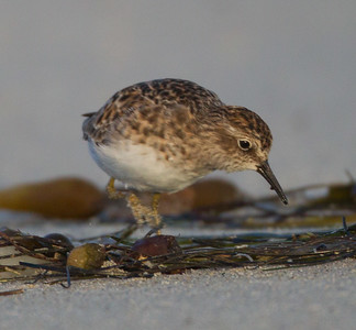 Least  Sandpiper  Cardiff Beach 2013 04 09 (1 of 2 (1 of 2).CR2