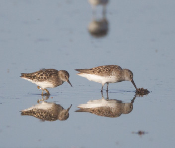 Western Sandpiper Least Sandpiper  Solar Ponds Kramer Junction 2017 07 23-2.CR2