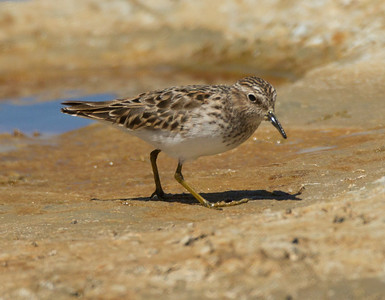 Least Sandpiper  Klondike Lake California 2015 04 15-3.CR2
