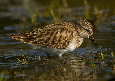 Least Sandpiper   San Dieguito 2013 01 29 (1 of 1).CR2