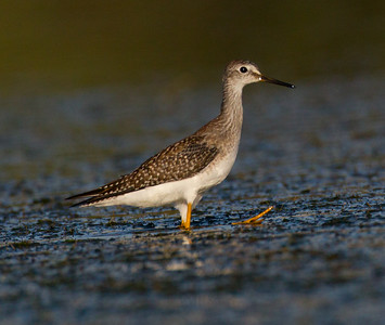 Lesser Yellowlegs San Luis Rey River Oceanside 2014 08 15 (2 of 4).CR2