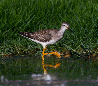 Lesser Yellowlegs San Luis Rey River Oceanside 2014 08 15 (4 of 4).CR2