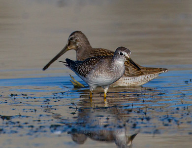 Lesser Yellowlegs Dowitcher  San Luis Rey River Oceanside 2014 08 15 (2 of 2).CR2 (1 of 1).CR2