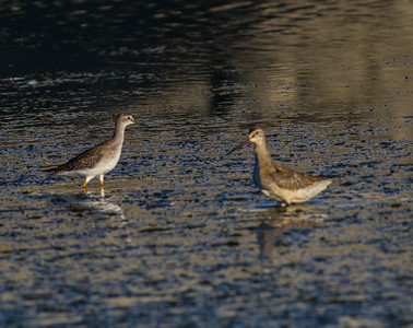 Lesser Yellowlegs Dowitcher  San Luis Rey River Oceanside 2014 08 15 (1 of 1).CR2