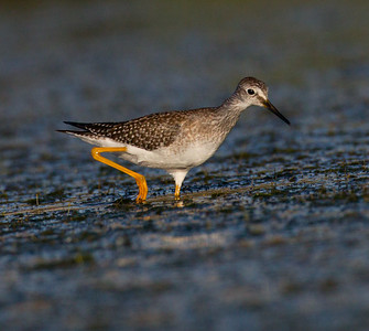 Lesser Yellowlegs San Luis Rey River Oceanside 2014 08 15 (1 of 4).CR2