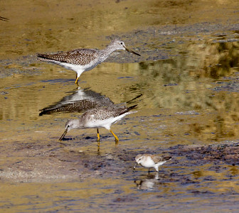 Greater Yellowlegs Lesser Yellowlegs  Krammr Junction Solar Pond 2016 09 5-1-2.CR2