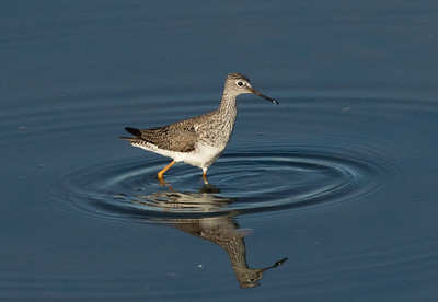 Lesser Yellowlegs   San Elijo Lagoon 2016 04 18-3.CR2