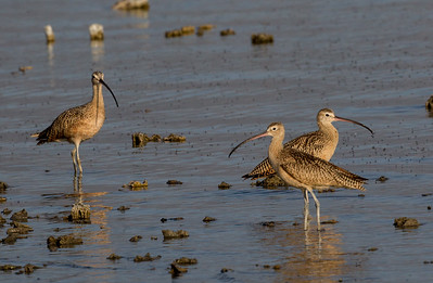Long-billed Curlew Mono Lake 2016 08 19-2.CR2
