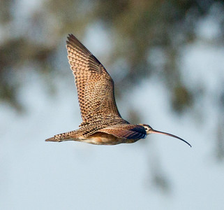 Long-billed Curlew  Batiquitos  2013 02 24 (1 of 1).CR2