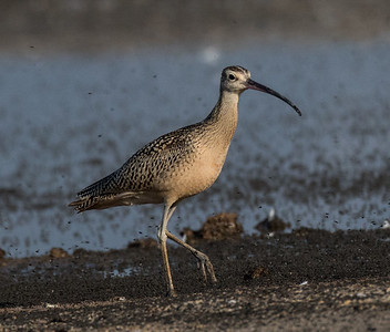 Long-billed Curlew  Mono Lake 2016 08 19-1.CR2