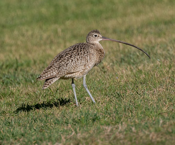 Long-billed Curlew Rossmoor 2019 01 09-3.CR2
