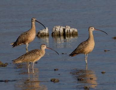 Long-billed Curlew Mono Lake 2016 08 19-3.CR2