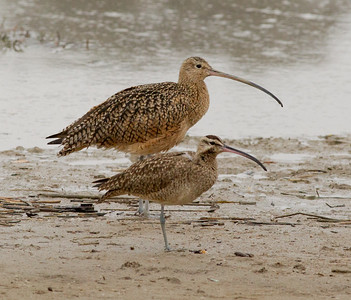 Whimbrel Long-billed Curlew  Batiquitos Lagoon 2012 11 30 (1 of 1).CR2