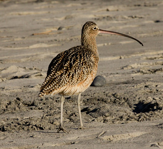 Longbilled Curlew  Oceanside  2012 01 04 (1 of 1).JPG