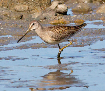 Long-billed Dowitcher  Camp Pendleton  2012 10 14 (1 of 4).CR2