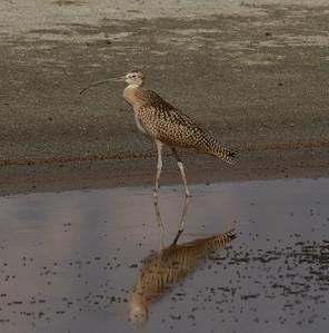 Long-billed Curlew  Owen`s Lake 2021 08 01-1.CR3