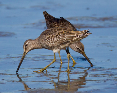 Long-billed Dowitcher  Camp Pendleton  2012 10 14 (4 of 4).CR2