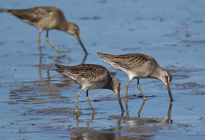 Long-billed Dowitcher  Camp Pendleton  2012 10 14 (3 of 4).CR2