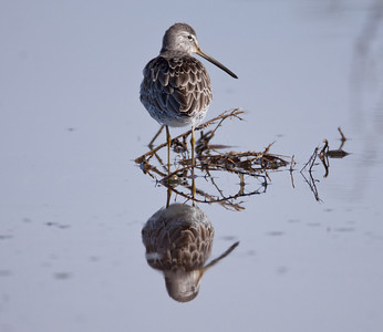 Long-billed Dowitcher  Camp Pendleton Ca 2011 1 16-3-2.CR2