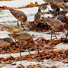 Red Knot, Dowitcher, Marbled Godwit,  Cardiff Beach 2009 09 14-2.CR2 (1 of 1).CR2