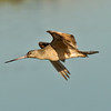 Marbled Godwit  Bolsa Chica 2013 08 22 (1 of 1).CR2