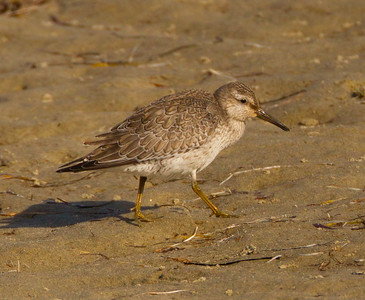 Red Knot  San Diego River 2014 09 06 (6 of 6).CR2