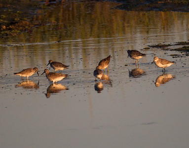 Red Knot San Diego River 2016 09 15-2.CR2