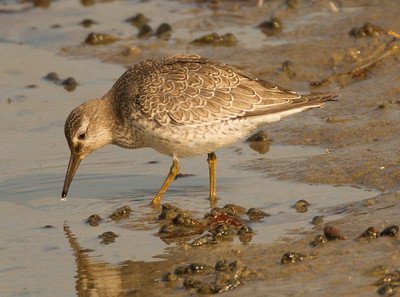 Red Knot  San Diego River 2014 09 06 (4 of 6).CR2