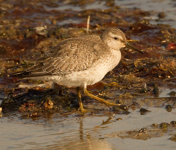 Red Knot  San Diego River 2014 09 06 (5 of 6).CR2