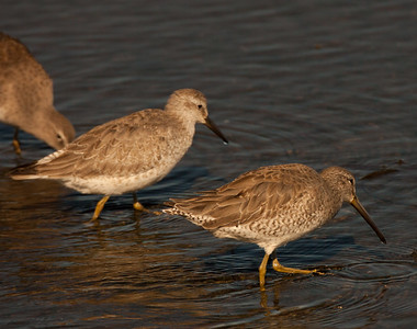 Red Knot San Diego River 2015 11 21-3.CR2