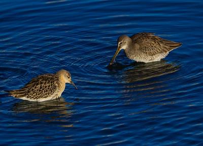 Ruff Long-billed Dowitcher San Luis Rey Oceanside 2014 10 29-2.CR2