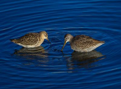 Ruff Long-billed Dowitcher San Luis Rey Oceanside 2014 10 29-1.CR2