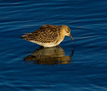 Ruff  San Luis Rey Oceanside 2014 10 29-3.CR2