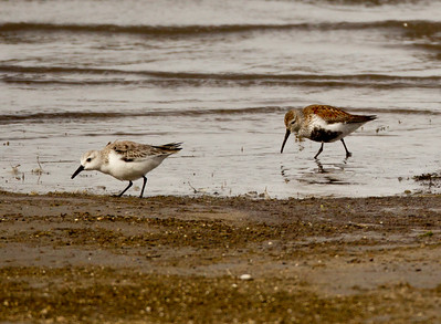 Dunlin Sanderling  Crowley Lake  2011 04 20    -0626.CR2