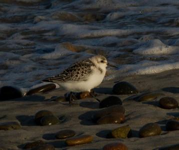 Sanderling  Cardif Beach 2011 09 12-2.CR2