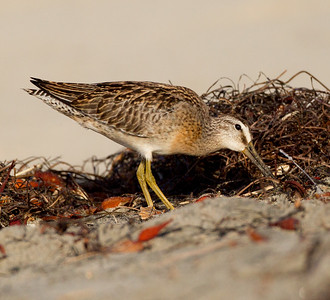 Short-billed Dowitcher Cardif Beach 2014 09 08 (6 of 6).CR2