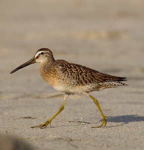 Short-billed Dowitcher Cardif Beach 2014 09 08 (3 of 6).CR2