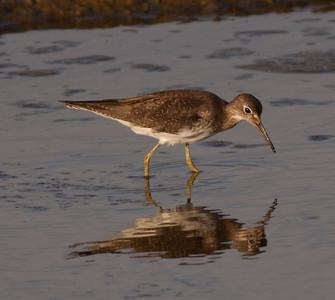 Solitary Sandpiper  Owens Lake 2009 09 19-1.CR2