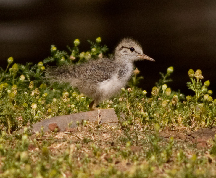 Spotted Sandpiper Or. 2009 07 26-4.CR2