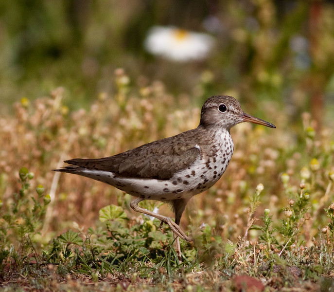 Spotted Sandpiper Or. 2009 07 26-2.CR2