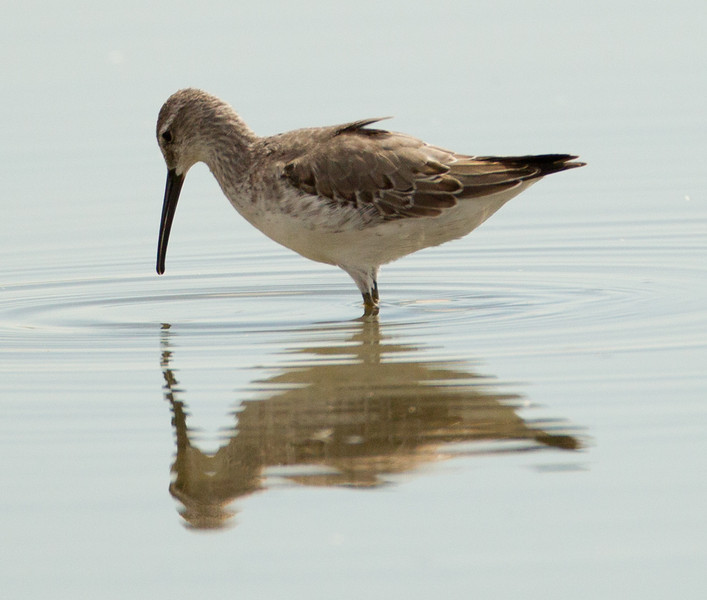 Stilt Sandpiper  Salton Sea 2012 08 03 (1 of 3).CR2-2.CR2