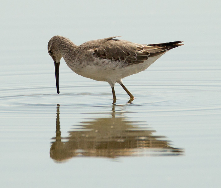 Stilt Sandpiper  Salton Sea 2012 08 03 (1 of 3).CR2-3.CR2