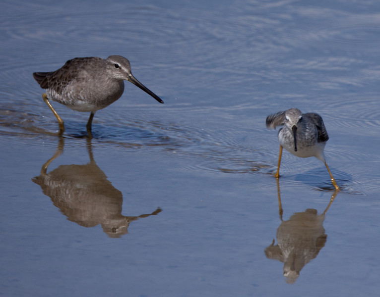 Stilt Sandpiper Long-Billed Dowitcher Salton Sea Ca. 2010 10 14-2.CR2