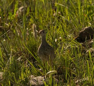 Upland Sandpiper near Broadview Montana 2015 06 13-2.CR2
